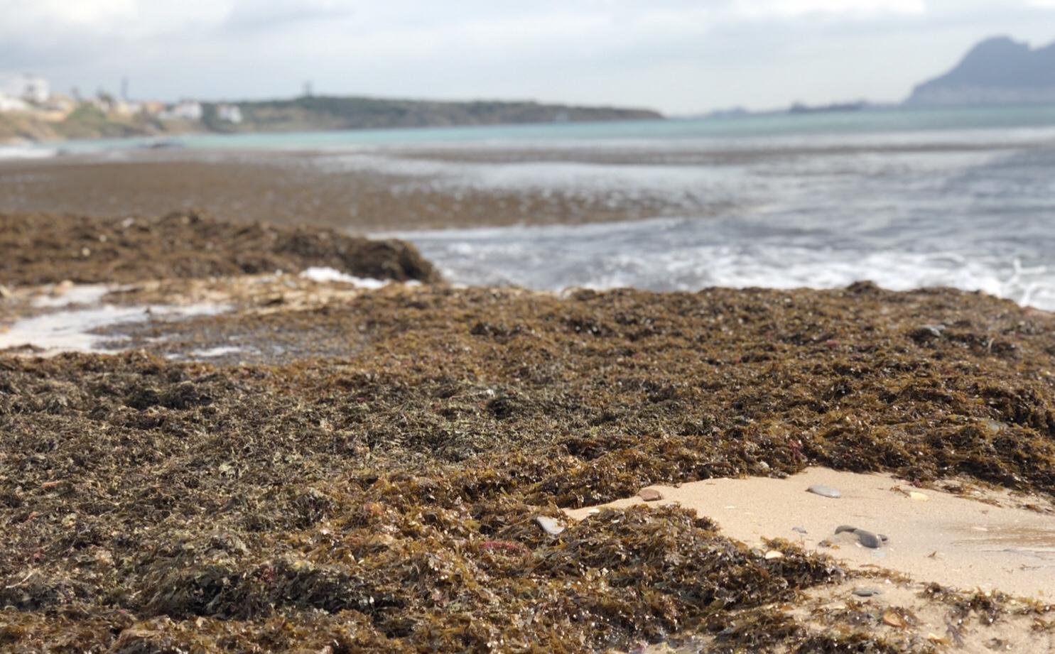 """Colectivos ciudadanos de Tarifa crean la """"Mesa sobre el alga invasora"""""""