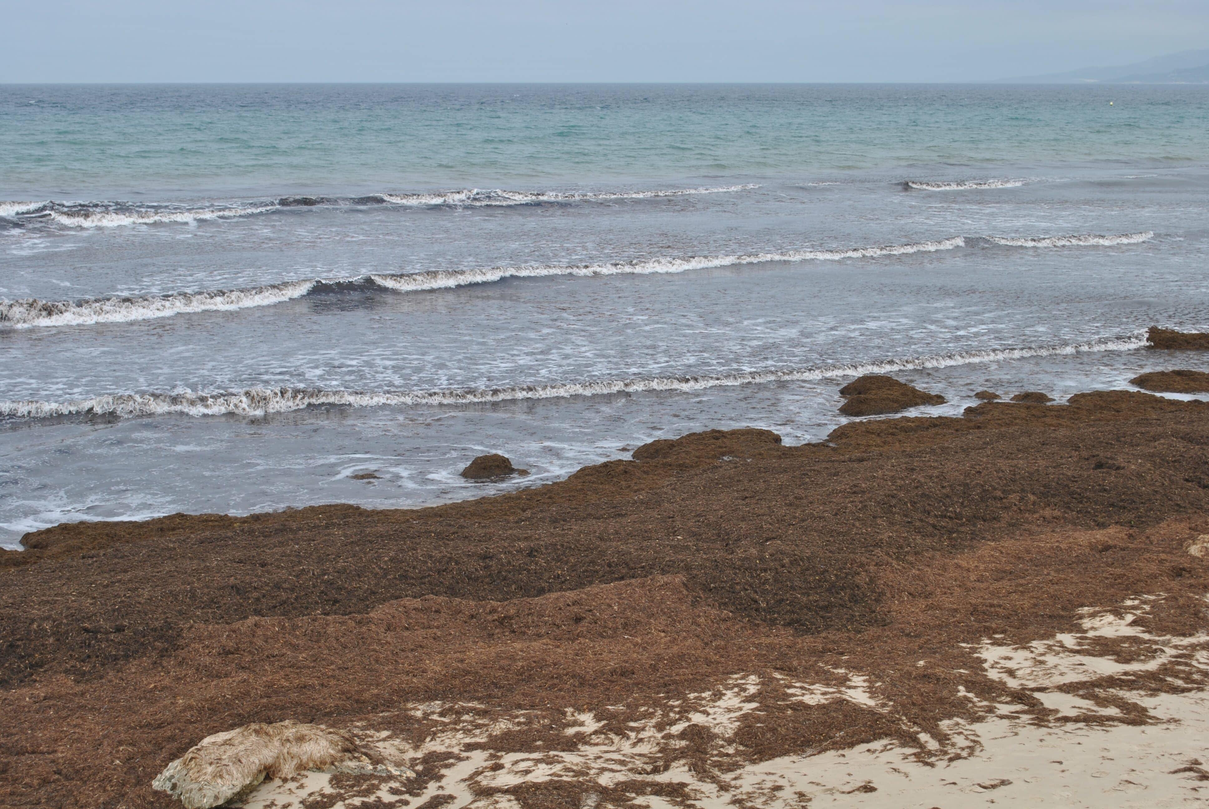 Solicitan información sobre la posible toxicidad de las algas invasoras