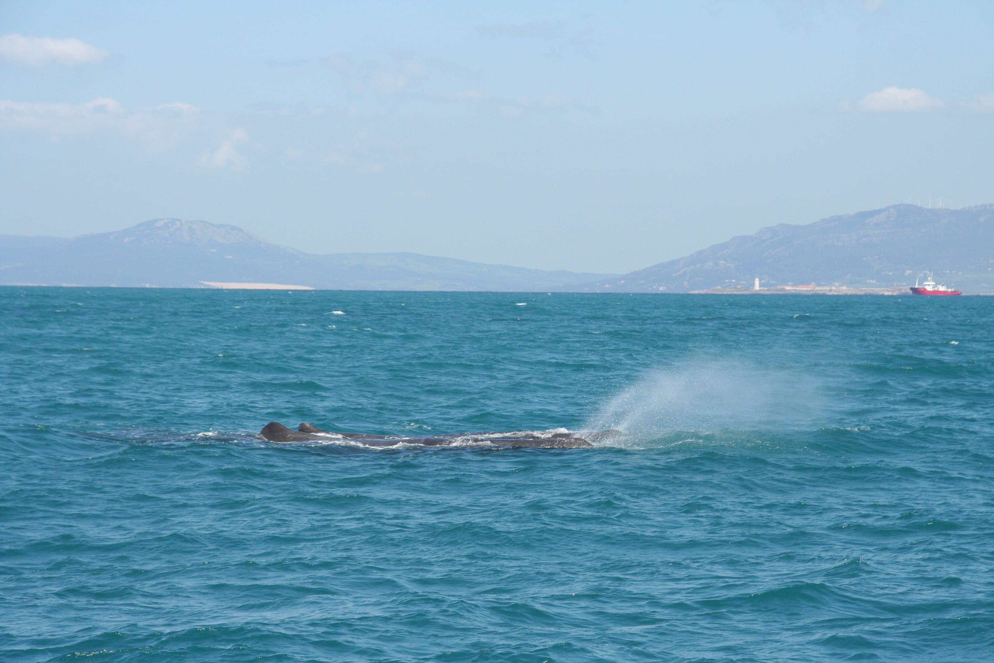 Concluye la temporada de avistamiento de cetáceos en Tarifa